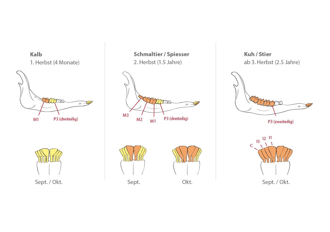 Naturwissenschaftliche Lehrbuch-Illustrationen illustrat – Nadine Colin